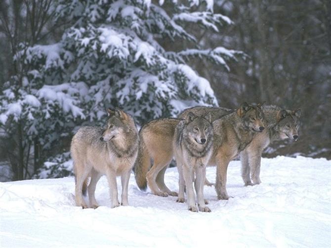 男人就该向狼一样活着 - 厚德载物 - 厚德载物