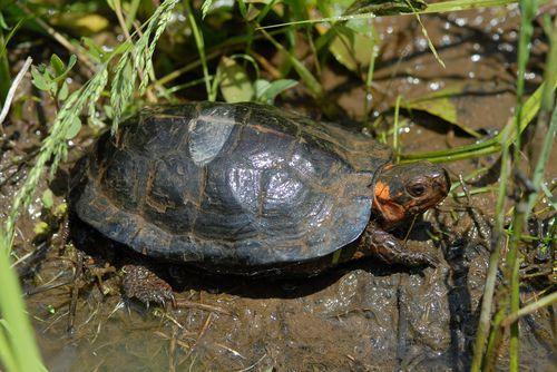 十大珍稀淡水龟鈥斺敽5位