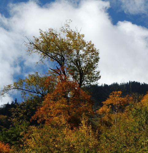 好色米亚罗___树与云 - 西樱 - 走马观景