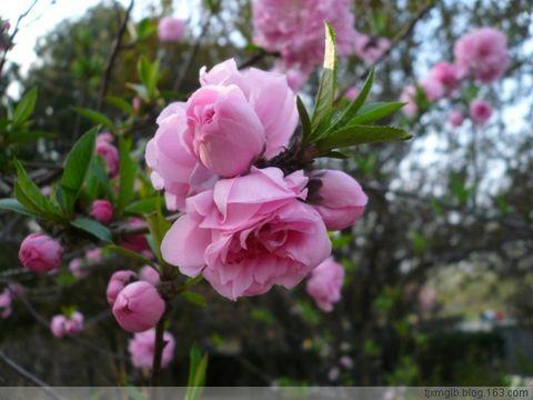 桃花节 - 秋雨 - 秋雨的博客
