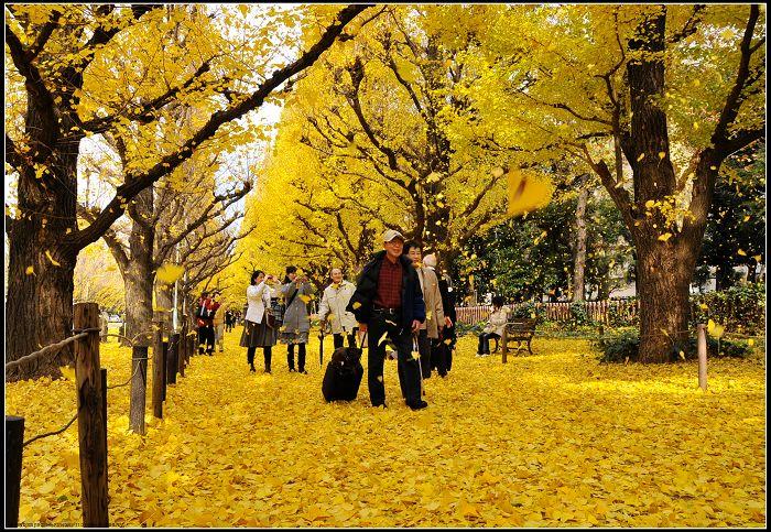 银杏黄了  - 贵公子 - 徒步夜行者