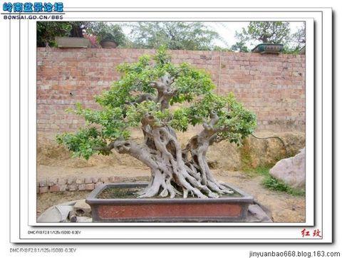 引用 中国盆景精品(3) - 真诚的日志 - 网易博客 - 岁月如歌 - 山东庆云英语教研博客