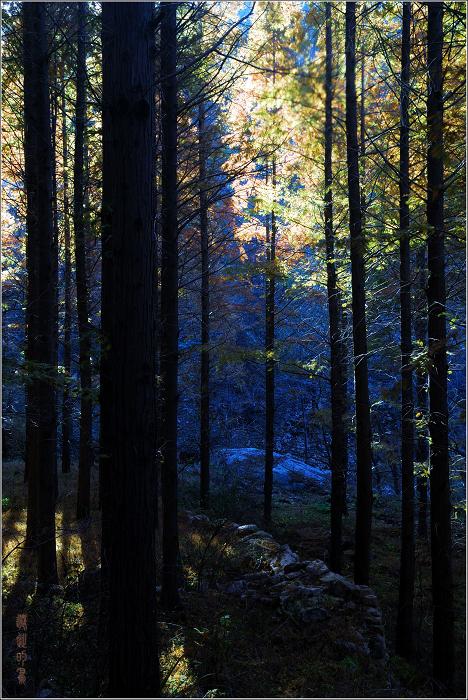 [原创]崂山——秋天的水杉林 - 迁徙的鸟 - 迁徙鸟儿的湿地