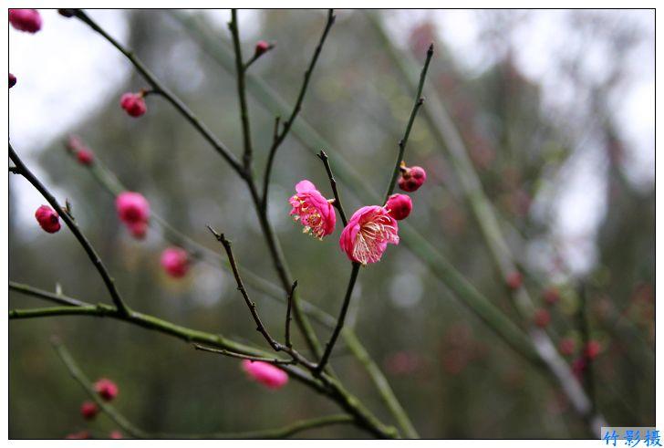 梅园春来早 - 竹影 - 竹影的博客