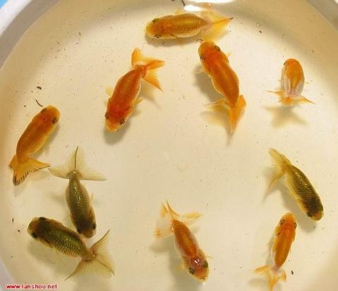 日寿青仔 - 大苏打 - 中国金鱼