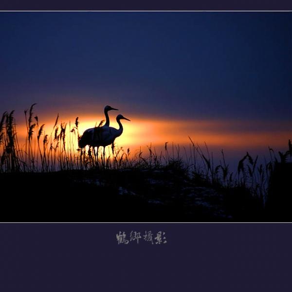 (转载)美丽的丹顶鹤  - BB - 一群狗狗的快乐生涯