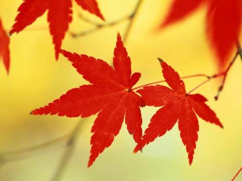 秋叶——凯岭 - 红枫 - 红枫棣桦的博客