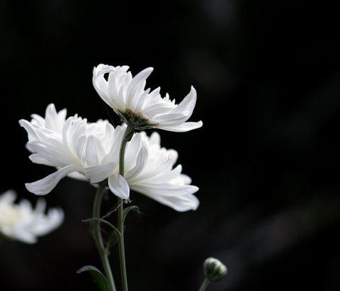 [原]  赏菊 - 黄靖媚 - hjm .