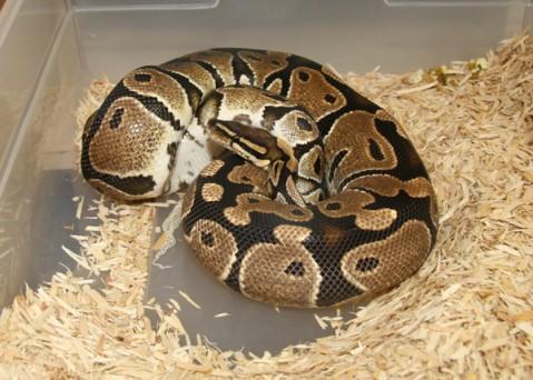 蛇母下蛋的图片