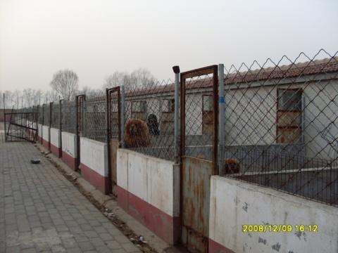 朗朗犬舍---北京锦地藏獒培训繁育基地(BeiJing