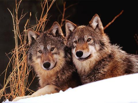 《狼》之 善于交流沟通  - 老婆骑马我赶驴 - 博宇宙经纬,易天地春秋