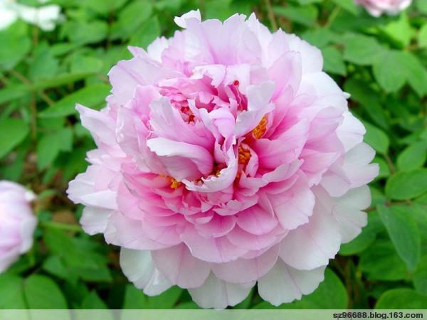 引用 国色天香 娇 艳 欲 滴 - 和平 - 和平的博客