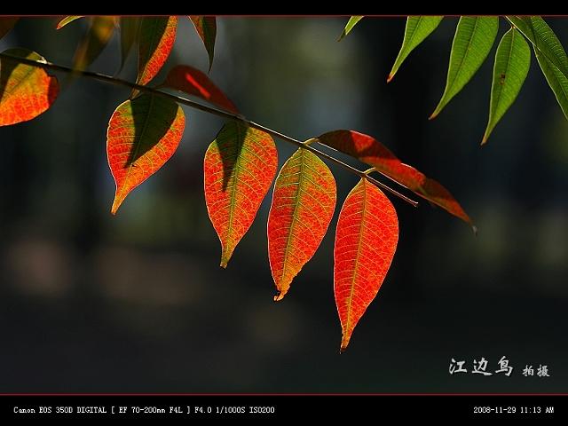 [原创摄影] 秋叶似花(08) - 江边鸟 - 江边鸟的博客
