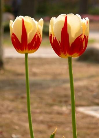 花卉图(供丝网花制作参考) - 夕阳无限好 - 夕阳无限好