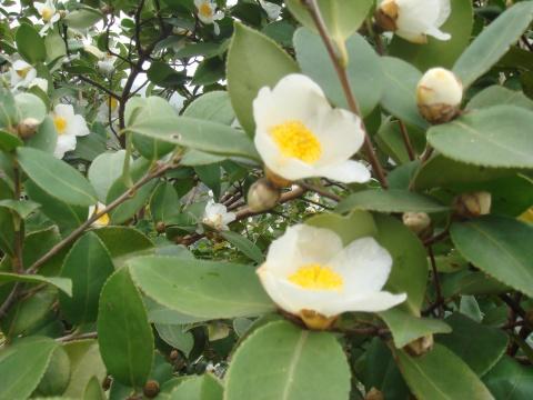 茶籽花开 - 铁树 - *