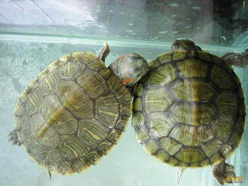 红耳龟 密西西比/密西西比红耳龟elegans