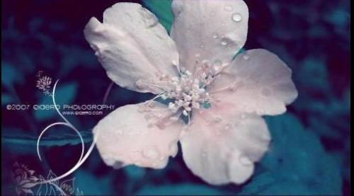 〖清颜原创〗陌上花,纤纤飘尘 - 素依清颜 -