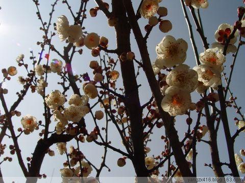 梅--我的摄影 2009年1月28日 - angel.yzx - 惠风和畅