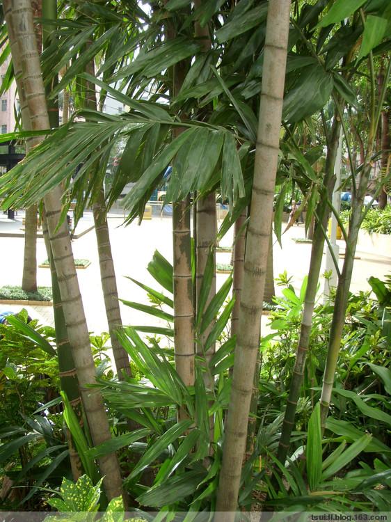 单子叶植物~竹茎椰子 [原摄] - 狮子山上雾茫茫 - 狮子山上雾茫茫攝影集 的博客