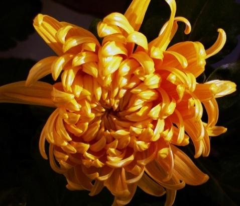 [原创音画]咏菊 七绝八首  - 梧叶飘黄 - 梧叶飘黄的博客