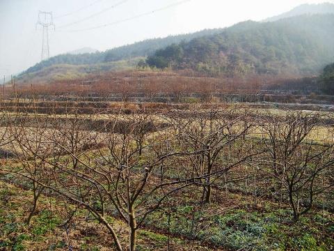 赴建德、浦江、义乌等地收集梨地方品种 - 清扬 - 花果飘香
