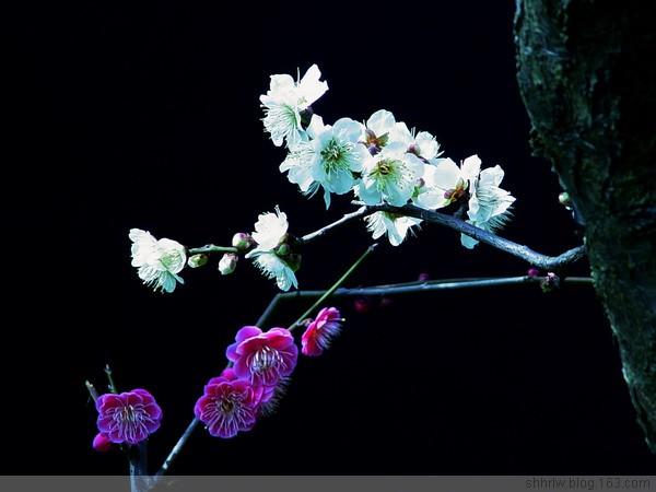 再赏梅花美(原创12幅) - 阿坤 - 阿坤的博客---纪实摄影家园