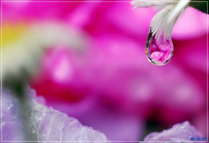 美艳欲滴水中花!【绝美组图】 - 無為居士 - 無為齋