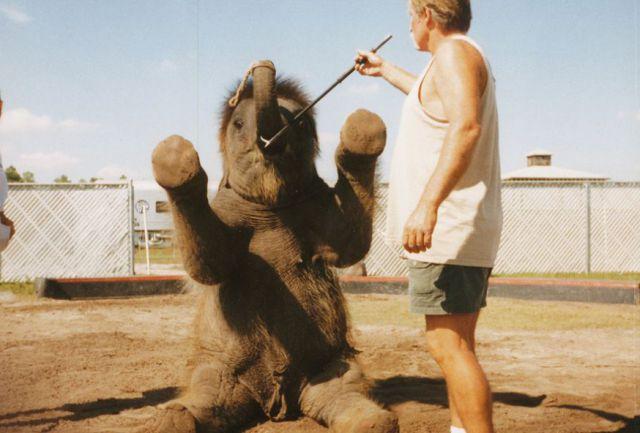 悲剧:美国驯兽员曝光残忍驯象过程(组图) - 刻薄嘴 - 刻薄嘴的网易博客:看世界