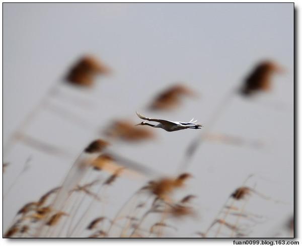 (原创)黄海湿地自驾游(6)——丹顶鹤 - 鱼笑九天 - 鱼笑九天