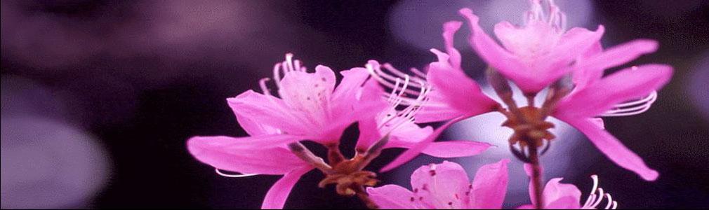 引用  博客顶栏精美图片欣赏   - 玫瑰情人 - 玫瑰情人艺术博客