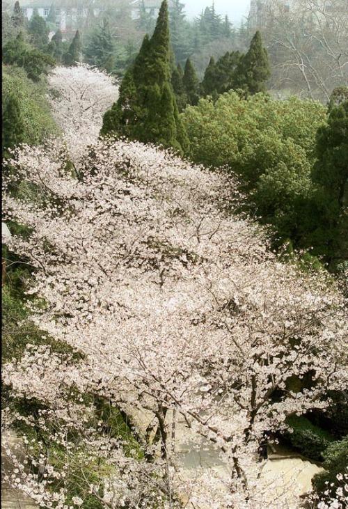 记忆中的樱花 - 麦兜 - 麦兜的幸福生活
