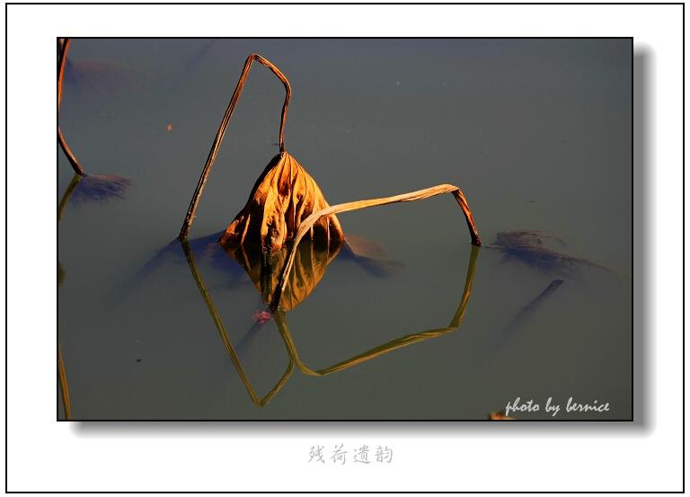 【原创摄影】残荷遗韵 - 王工 - 王工的摄影博客