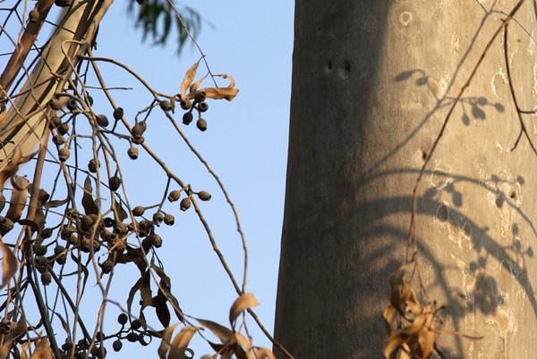 wo尤加利树 - 匍匐飞行 - 匍匐飞行