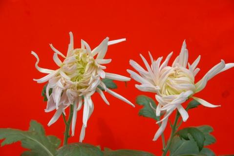 菊花 - lyldyx427 - 皋兰山居