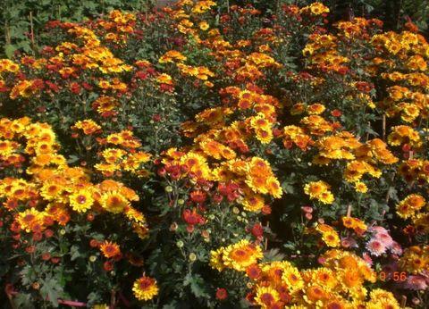 (原创)买盆花过年 - 林子 - 林子的博客
