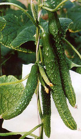绿色食品和有机食品  - 江苏省丰谷种业有限公司 - 江苏省丰谷种业有限公司