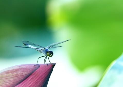 又见蜻蜓  - 山水悠游 - 山水悠游的博客