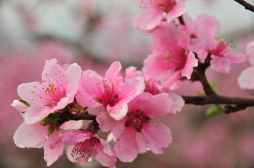 只贴桃花不贴人 - 雨兰 - 雨兰的博客
