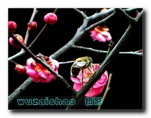 蜂之恋 - 无再少 - 无再少的博客