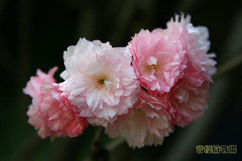(原创摄影)樱花 - 曾经拥有 - .