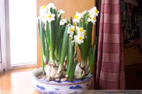 风送二十四番花信(3)小寒三候:水仙花(三番) - 卓三 - 卓三的博客