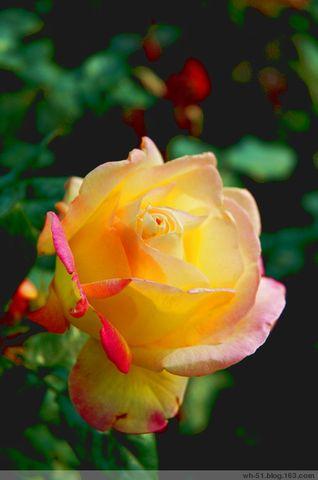 玫瑰花香 - 江河海 - 江河海的博客