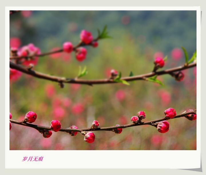 正月十五看桃花---艳!(2)【原创摄影】 - 岁月无痕 - 岁月无痕