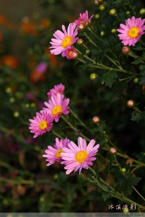 [原创] 《菊颂》 - 木槿 - 木槿花开
