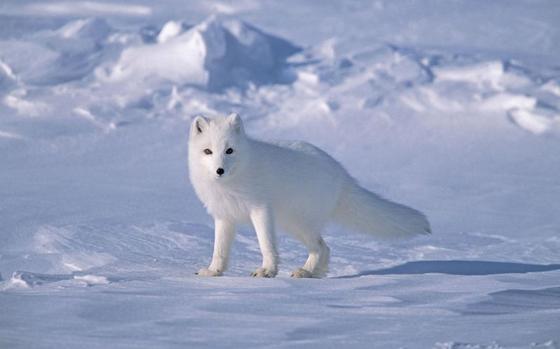 白狐 - 夏雪 - 相识是缘 夏雪的博客