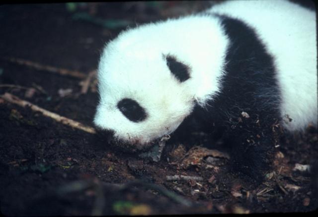 """可爱熊猫虎子遭到妈妈""""遗弃""""?虎子将怎样成长为真正的""""男子汉""""? 在这里添加日志标题 - 行者 - 《行者》旅游卫视"""