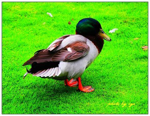 [原创]动物王国(06)鸳鸯《锦缠道》 - 自由诗 - 人文历史自然 诗词曲赋杂谈