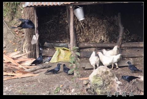 尼国行散记之 博卡拉的乌鸦 - 荒野狷鱼 -      荒野狷鱼的博客