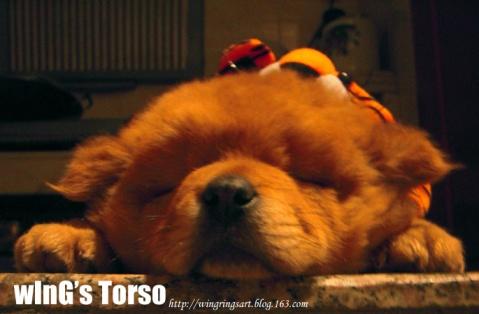 家有肥犬 - ш í л g - wInGs Torso