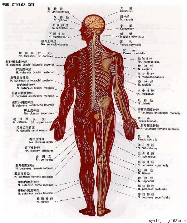人体解剖图(组图) - 渴望美好 - 渴望美好的百科精品博客(学习娱乐之家)